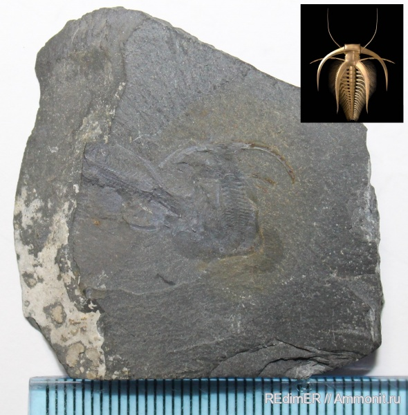 кембрий, Cambrian, Marrella splendens, Marrella, Burgess