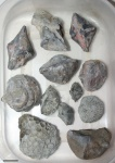 Devonian fauna from northern France