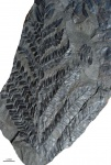 carboniferous plants from Asturia (Spain )