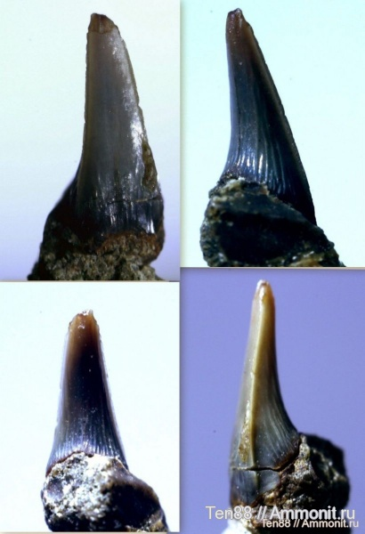 мел, мезозой, апт, зубы акул, Protolamna, р. Губс, Мостовский район, Aptian, Cretaceous, shark teeth