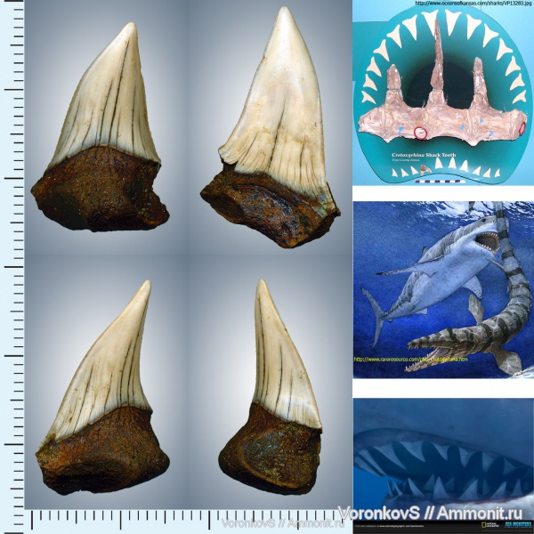 мел, зубы, акулы, сеноман, Cretoxyrhina, Cenomanian, Cretaceous, teeth, sharks