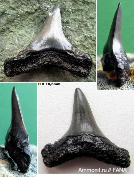 зубы акул, shark teeth