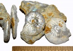 Aulacostephanus sp.