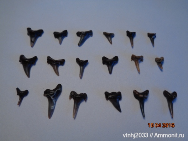 мел, зубы, акулы, зубы акул, Eostriatolamia subulata, Archaeolamna, Lamniformes, teeth, shark teeth, sharks