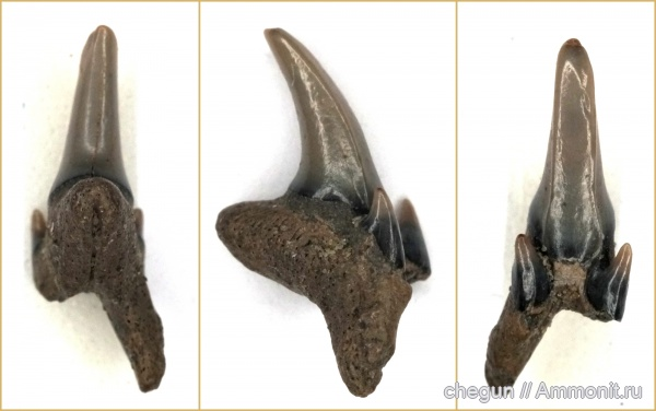 зубы, акулы, сеноман, Саратовская область, Пудовкино, Pseudoscapanorhynchus compressidens, shark teeth